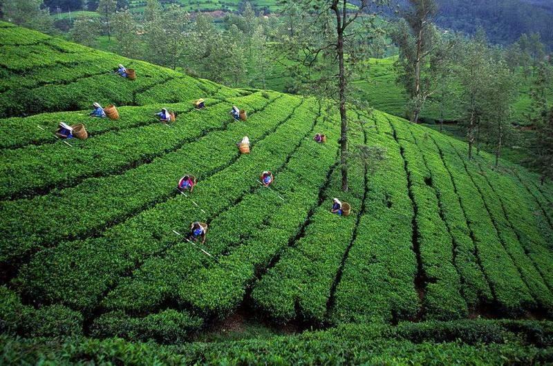 Чайные плантации в Шри-Ланке