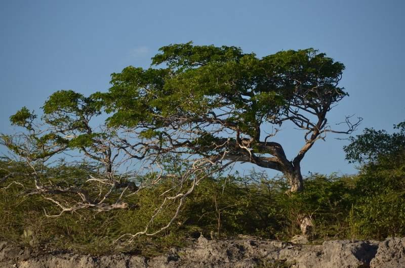 Дерево Диви-диви - символ Кюрасао